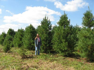 Ky White Pine Trees for Sale - Hutton Loyd Tree Farm